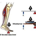 What type of lever is standing on toes?   second class lever in our body