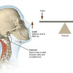 What type of lever acts when we nod our head?   Nodding of Head as Lever